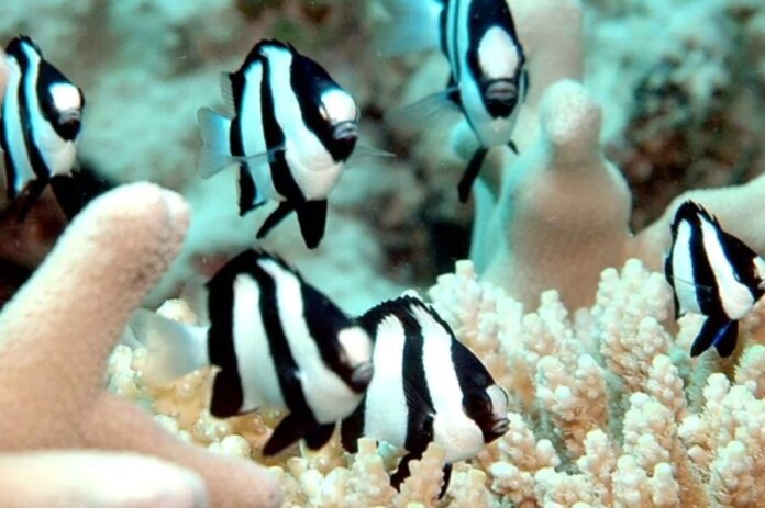 four stripe damselfish
