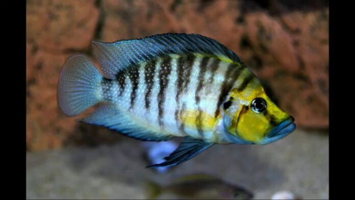 Pearly Compressiceps Cichlid