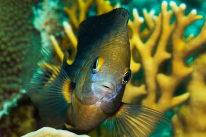 damselfish temperament