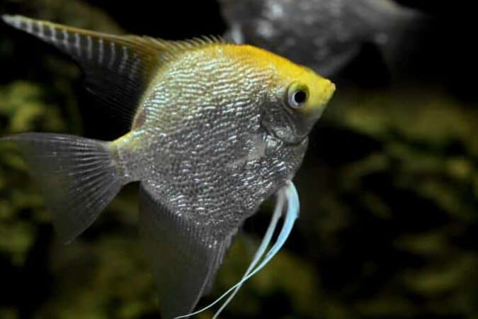 angelfish for your aquarium