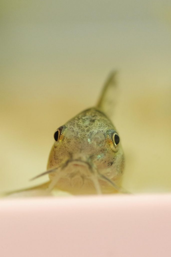 how to hatch corydoras fish eggs