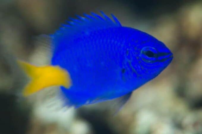 damselfish tank requirements