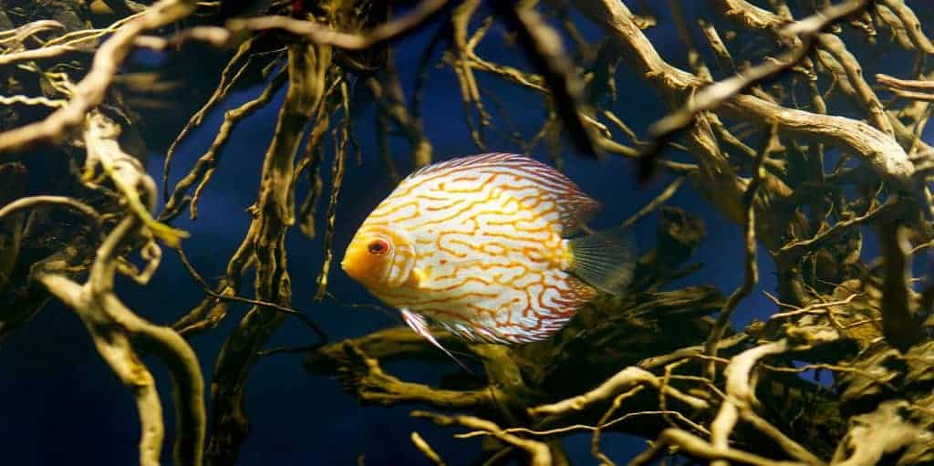 discus fish in your tank.