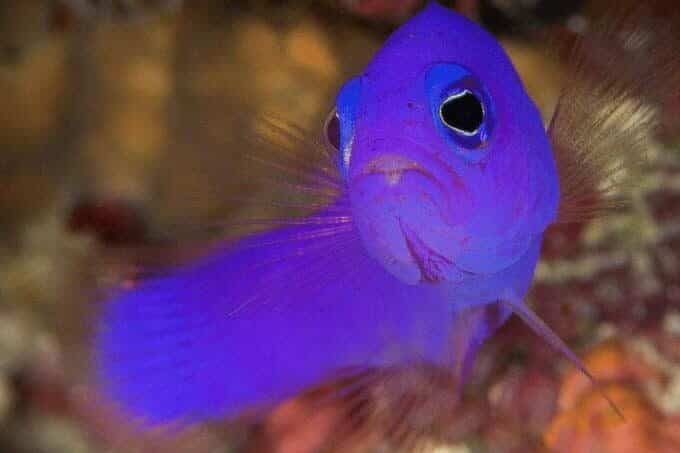 dottyback fish