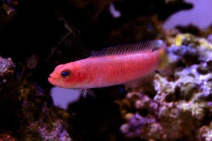 dottyback tank condition