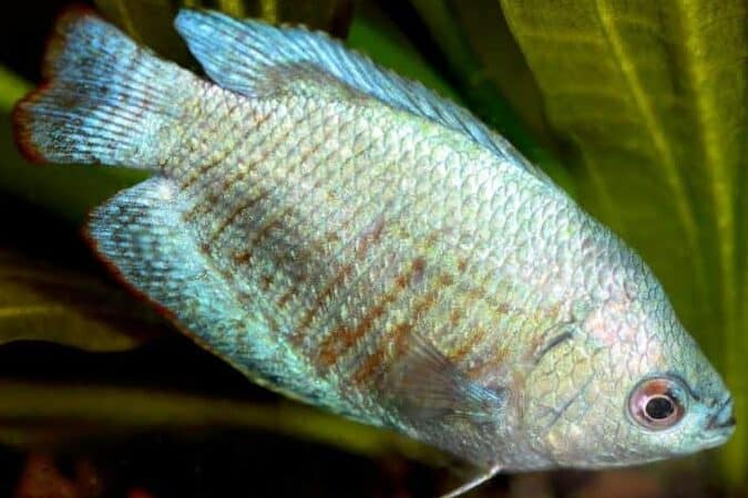 dwarf gourami temperament