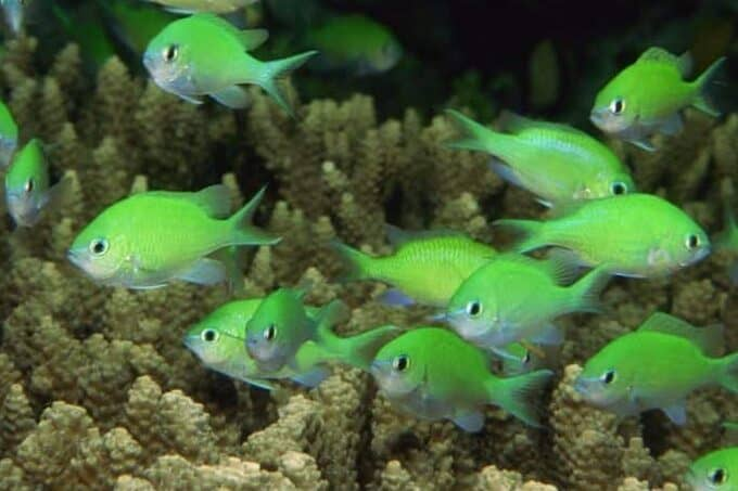 green chromis feed