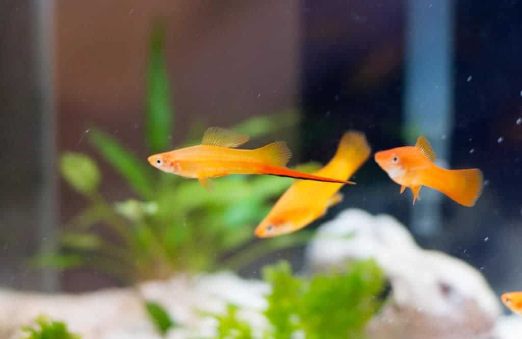 Most Popular Freshwater Fish