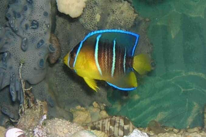 tank conditions for angelfish