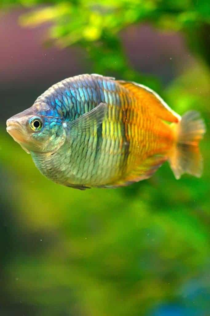 rainbow fish beauty