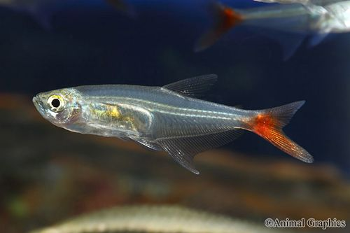 glass bloodfin
