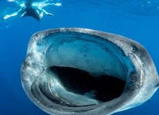 What is the Biggest Fish in the World?